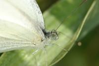 Le papillon blanc