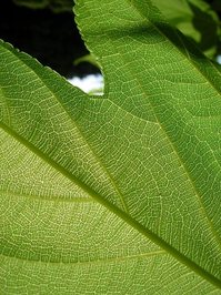 Leaf Up Close 1