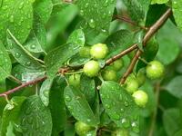 plum 5