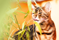 Bengal Cat and Bamboo