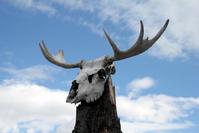Elk skull and antlers