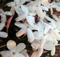 More jasmine opening