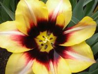 Tulip - close up
