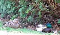 Mallard Ducks 3
