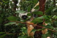 Lemur of Madagascar 1