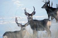 Mule Deer Series 2