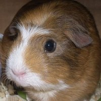 Guinea Pigs 4