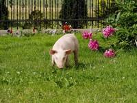 pigs 03