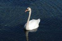 Swan_2_27.04.2005