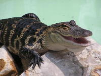 Baby Alligator 2
