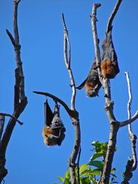 Fruit Bats at Botanical Gardens Sydney