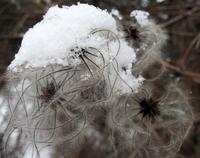 frozen feathery plant