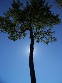 Tree in sun