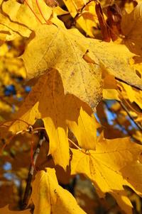 Golden Autumn 1