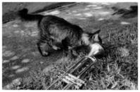 Trumpet Series - Kitten