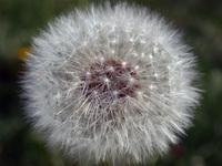dandalion - closeup