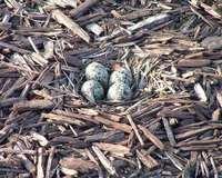 Bird Eggs In Wood Shavings