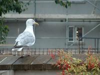 Seagull Ponder