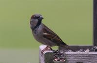 Song Birds 9