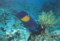 Moon angelfish