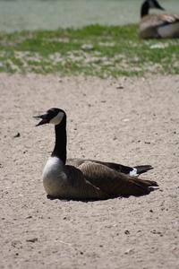 HRC- Canadian Goose