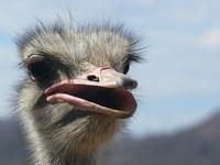 Ostrich female