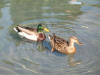 WaterDucks 2