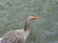 Duck in Happy times