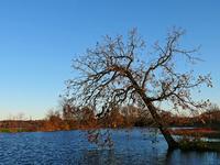 ready-to-fall tree