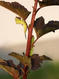 caterpillar series