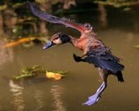Duck Landing 1