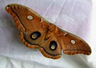 Fat Moth #2