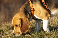 Lucky the beagle 2
