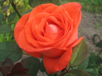 Beautiful Rose! 1