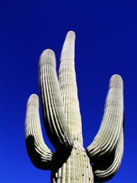 dramatic saguaro