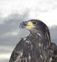 Kootka the Sea Eagle