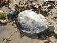 turtle deceased