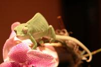 Chameleon on orchid 1