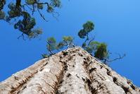 Looong Tree 1