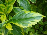 folha verde e amarela 1
