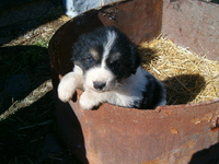 doggy (bulgarian sheep dog)