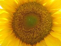 Gira sol