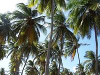 Coconut Trees 1