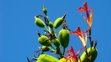 Canna tuerckheimii (flowers and seeds)