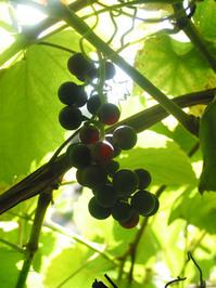 red grape wine2