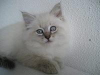 Neva Masquerade kitten Ilarion 2