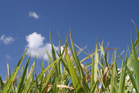 Blue sky with big grass leaves