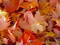 Photo File of Autumn Leaves
