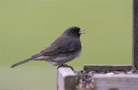 Song Birds 8