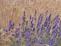 Lavendel / Lavender 2
